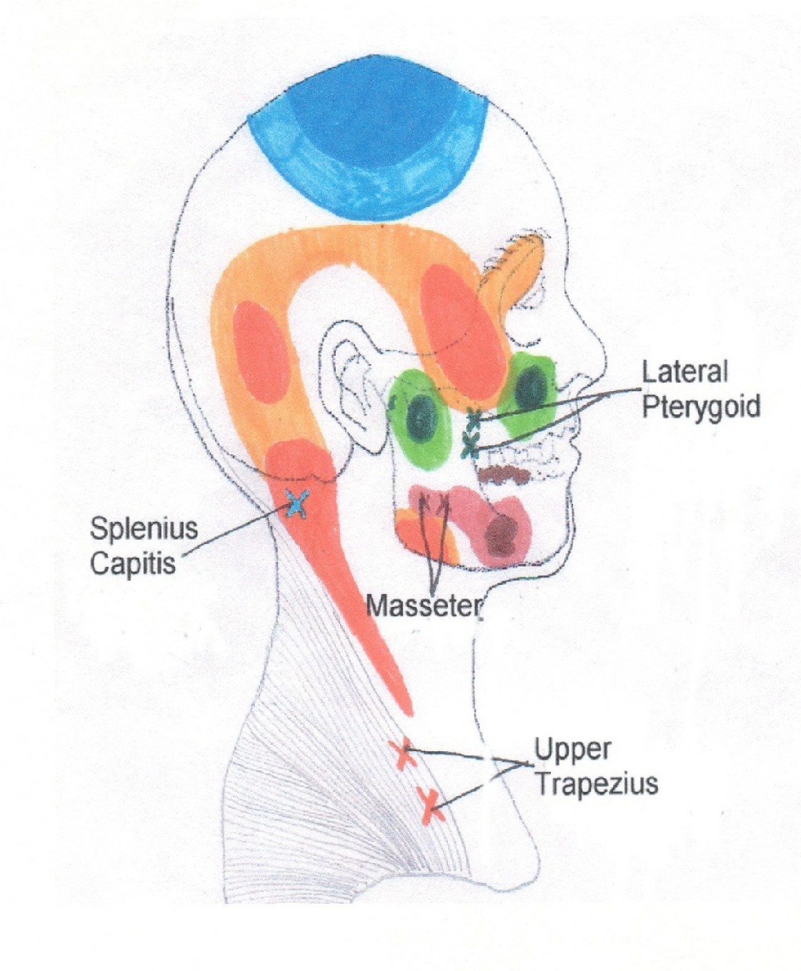 Muscles of The Head Neck And Shoulders Head Neck And Shoulder